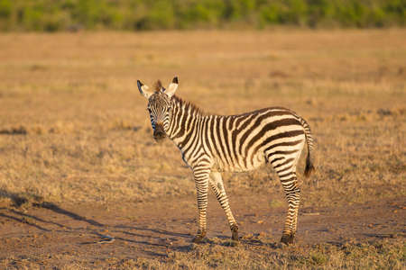 A beautiful young baby zebra in the early morning light
