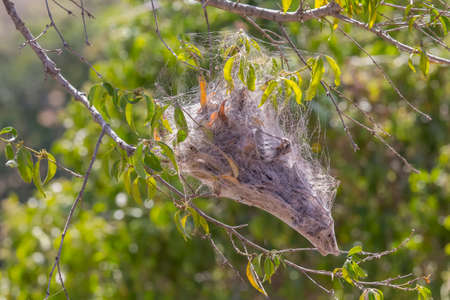 Stegodyphus mimosarum is commonly known as the African social velvet spider nest in a tree