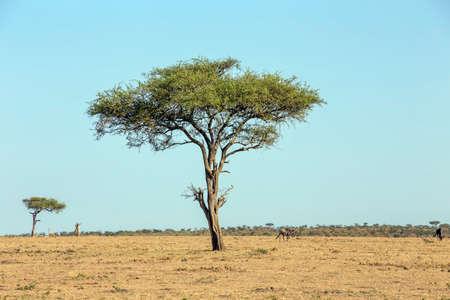 The Balanites tree in the Masai Mara Stock Photo