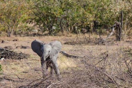 Baby Olifant Stockfoto