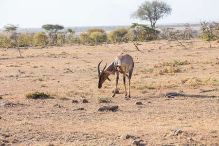 tanzania antelope: The Topi is highly social and one of the fastest antelope Stock Photo