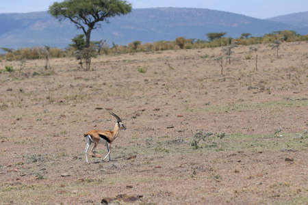 tanzania antelope: Thomsons Gazelle Stock Photo
