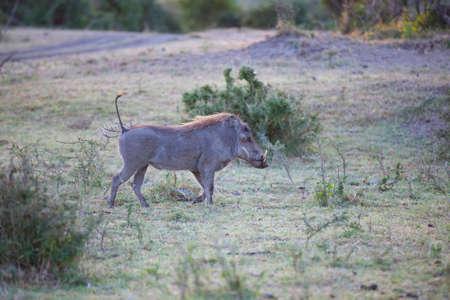 Male warthog Stock Photo