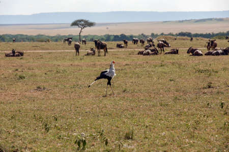 A beautiful Secretary Bird striding through the long grass with wildebbest in the background