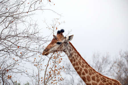 The Southern South African Giraffe with a red-billed oxpecker bird Stock Photo