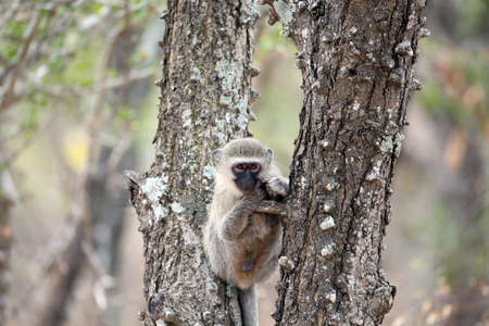 Young make vervet monkey relaxing in  tree