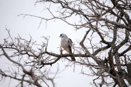 A young dark chanting goshawk Stock Photo