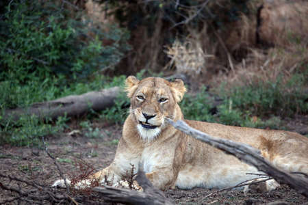 A fearsome looking wild African lioness