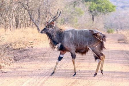 Mooie Nyala-stierenantelope in het wild