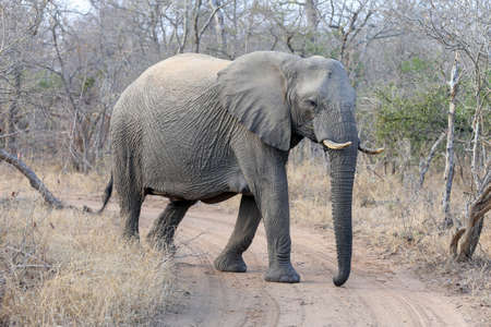 An African Elephant crossing the road
