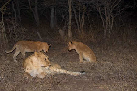 Lioness and Cubs playing ay night Stock Photo