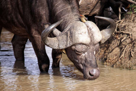 Cape buffalo at a waterhole with a red-billed oxpecker
