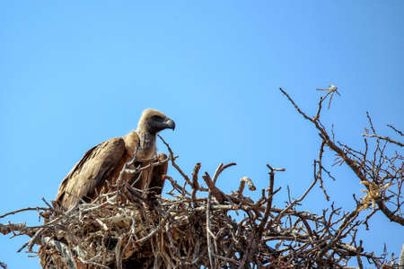 A perched white backed vulture