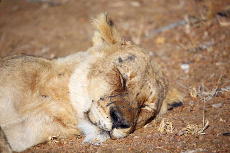 An old lioness sleeping peacefully Stock Photo