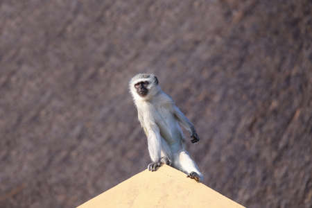 Vervet monkey keeping a lookout for trouble