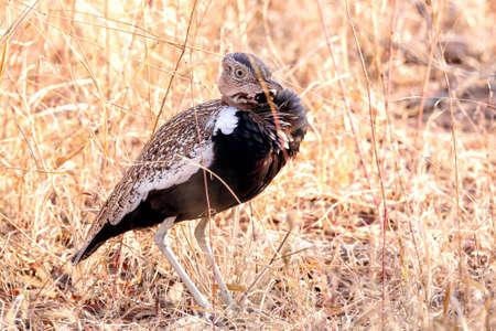 Black-bellied bustard one of the heaviest flying birds in the world