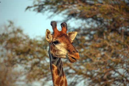 The Southern South African Giraffe Stock Photo