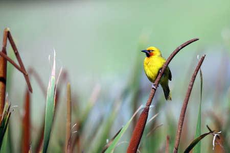 A beautiful male Cape Weaver