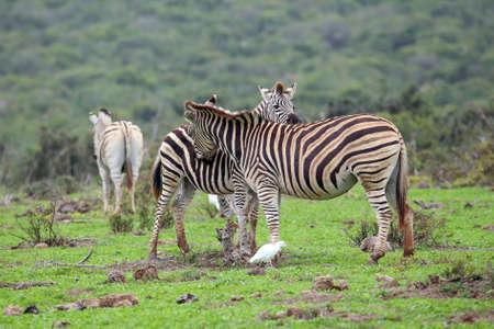 Zebras grroming each other Stock Photo - 108153551