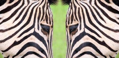 Zebra Stock Photo - 108258041