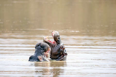 two young hippos playing in water 版權商用圖片