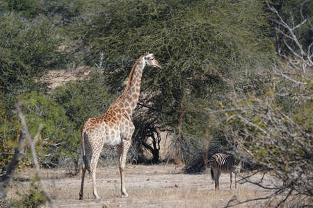 Giraffe in the African bush with a zebra