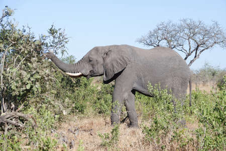 African elephant living free in the African bush Stock Photo