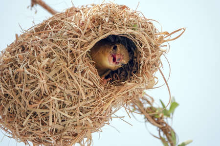 A female Rüppell's Weaver in Southwest Saudi Arabia at the entrance to her nest Archivio Fotografico