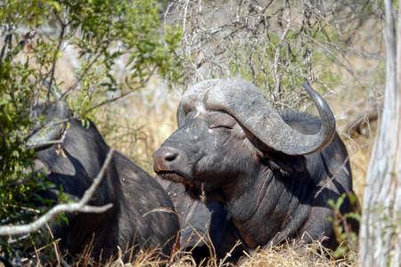 Cape buffalo in the african bush