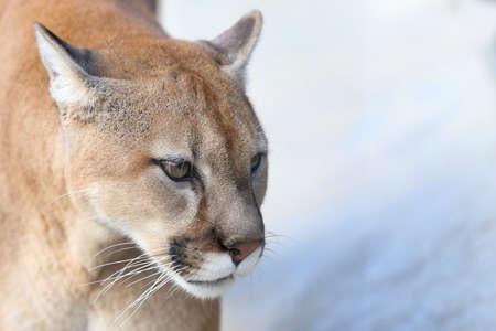 Portrait of a full grown mountain lion Stock Photo