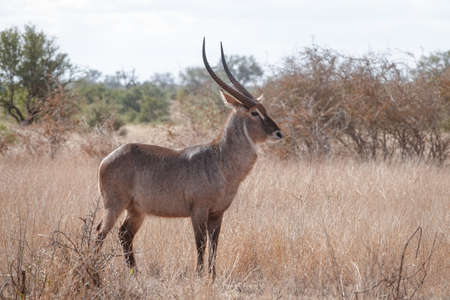A large dominant male waterbuck
