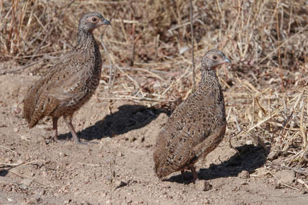 Swainsons Spurfowl chicks in the African wild