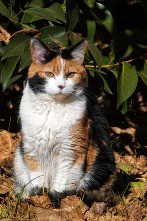 Calico cats are exclusively female except under rare genetic conditions Stock fotó