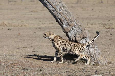 A large beautiful male cheetah Reklamní fotografie