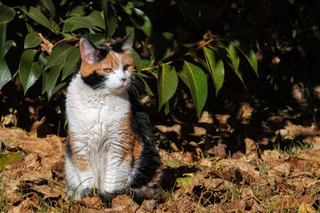 Calico cats are exclusively female except under rare genetic conditions Stok Fotoğraf