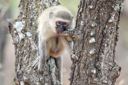 Young make vervet monkey chewing on a branch of a tree Stock Photo