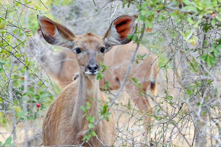 A female kudu with large ears for extra sensory hearing perception needs no hearing aid