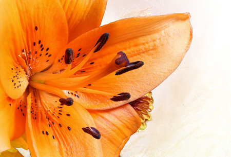 Macro of a beautiful tiger lilly on soft yellow background