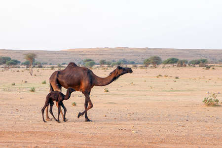 Mother camel and her new born calf in the desert