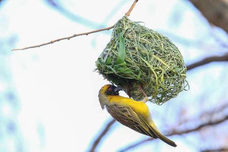 Un tejedor enmascarado del sur construye su nido