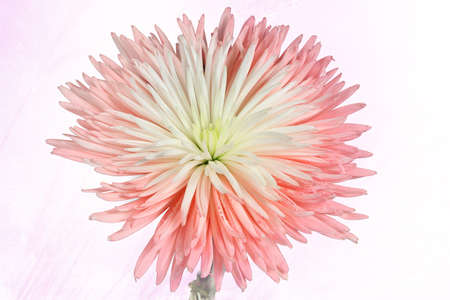 Beautiful white and pink chrysanthemum on a soft pink background