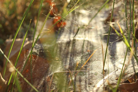 setting  sun: Spiderweb on the grassy ground in the setting sun of autumn