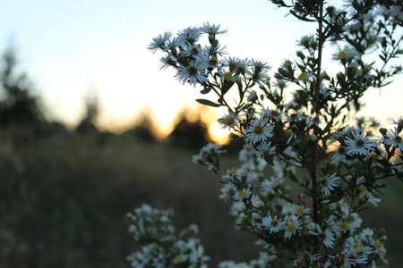setting  sun: Wildflower in the setting sun