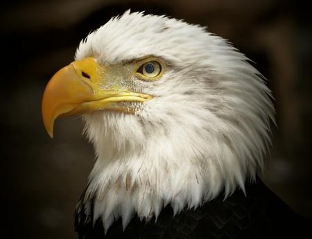 haliaeetus leucocephalus: Adult Male Bald Eagle Haliaeetus leucocephalus