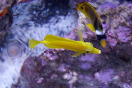 tang: Yellow Tang and Company Stock Photo