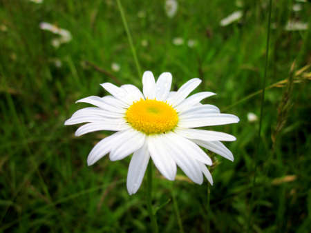 Daisy close up with raindrops on its petals, green grass in the background. Banco de Imagens - 12917251