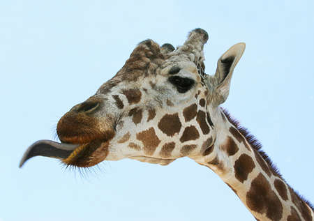 Giraffe sticking out her tongue photo