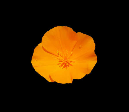 Orange California Poppy with some droplets on black background.