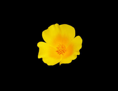 Mexican Poppy isolated on black background