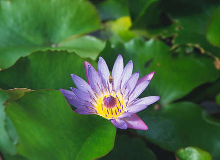 An Attractive Water Lily in a tropical garden, Hawaii. photo